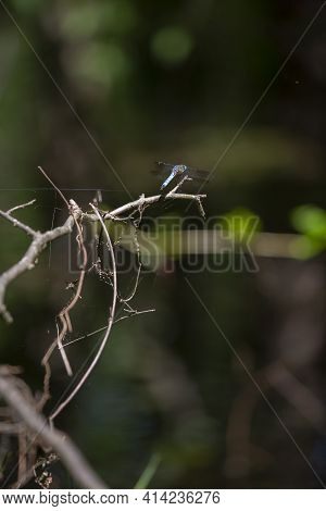 Blue Dasher Dragonfly (pachydiplax Longipennis) On Dead Bush Limbs