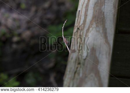Buck Moth Caterpillar (hemileuca Maia) Perched On A Tiny Twig