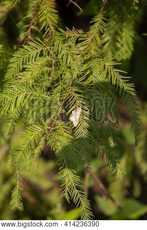 Northern White Skipper (heliopetes Ericetorum) Latched Onto The Bright Green Needles Of A Cypress Tr