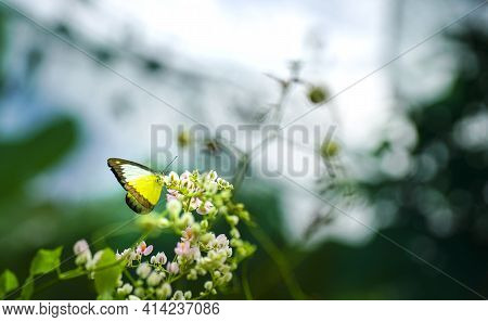 Beautiful Yellow Butterfly On Pink Creeper Flowers In A Garden. Spring And Nature Background Concept