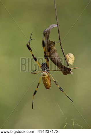 Golden Orb Weaver Spider (nephila) Hanging From Its Web