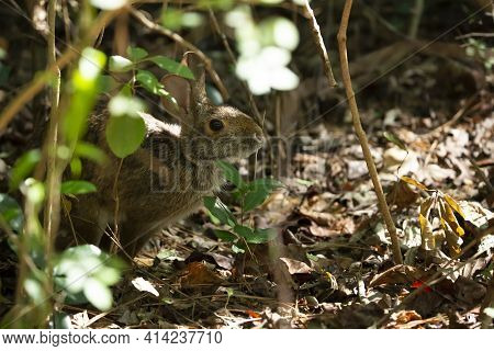 Eastern Cottontail Rabbit (sylvilagus Floridanus) Standing Cautiously At The Edge Of A Forest Cleari
