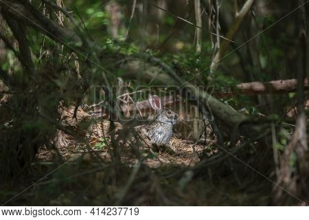 Eastern Cottontail Rabbit (sylvilagus Floridanus) Resting Cautiously Past A Barrier Of Vines And Fal