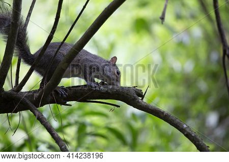 Squirrel Sniffing Curiously As It Scurries Along A Limb