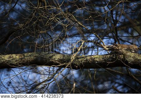 Squirrel Leaping As It Runs Along A Thick Tree Branch