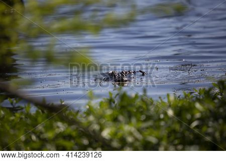 American Alligator (alligator Mississippiensis) Staring Ominously Through Green Foliage