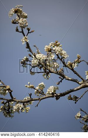 White Flowering Blooms On A Bradford Pear Tree (pyrus Calleryana)
