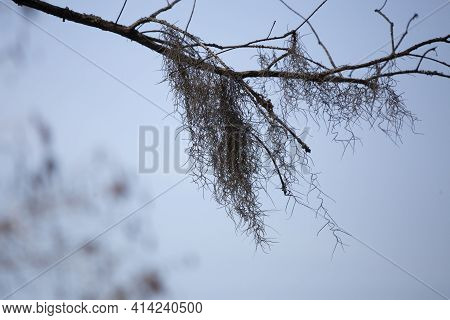 Spanish Moss (tillandsia Usneoides) Hanging From A Tree Limb On A Cool Day