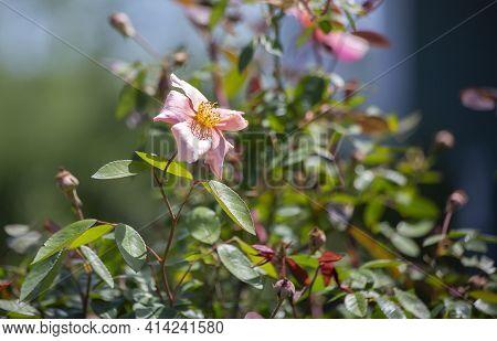 Pretty Peach Bloom On A Flower During The Summer Season