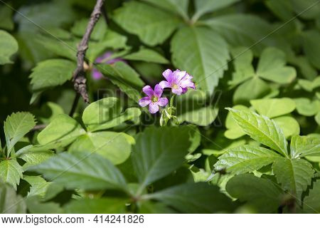 Two Violet Flowers Growing In Clovers And Dead Leaves