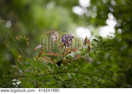 Violet Bulbs Blooming From A Plant With Yellow Leaves