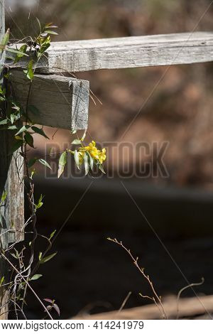 Yellow Bell Flowers On A Vine Wrapping Around A Wooden Structure