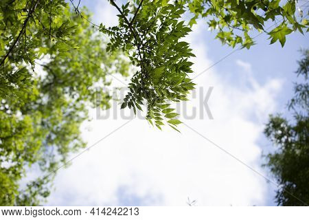 Leaves Of Tree Jutting Out Into A Cloudy,  Blue And White Sky