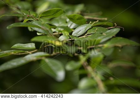 Close Up Of Green Leaves On A Shrub