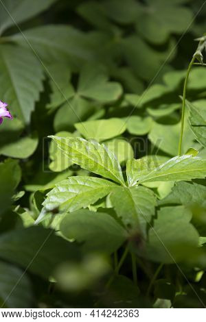 Deep Green Weeds Growing Amongst Thick Clover In A Yard