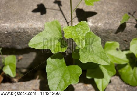 Green Leaves Growing From A Deep Crack In Cement Separating Two Levels Of Steps