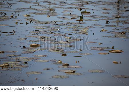 Lily Pads Scattered Throughout The Surface Of A Lake