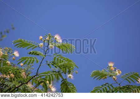 Bright Pink Blooms On A Mimosa Tree (albizia Julibrissin) Against A Deep Blue Sky