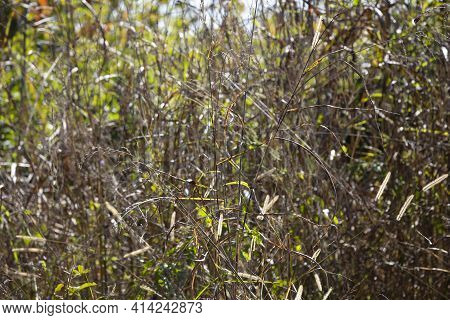 Tall, Dry Grass Dying And Turning Red And Brown