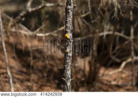 Orange Jelly Fungus (dacrymyces Chrysospermus) On A Tree