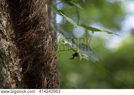 Close Up Of Poison Ivy Growing Down A Tree
