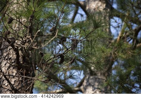 Green Pine Needles And Pinecones On A Tree