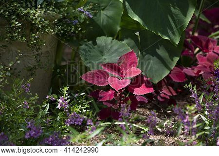 Leaves Of A Purple Coleus In Front Of Large Elephant Ear Plants, In A Garden Of Small Purple Blooms