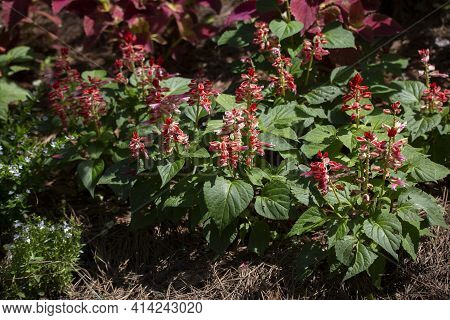 Red Flowering Plants Growing In A Flower Bed
