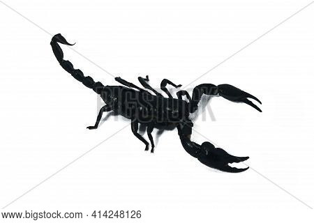 Andro's Highly Toxic Black Scorpion This Species From Thailand Is One Of The Most Dangerous Scorpion