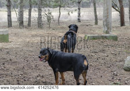 Two Black Dogs Are Walking Along Dry Pine Needles With Cones. Adult Female And Male Rottweiler. A Pa