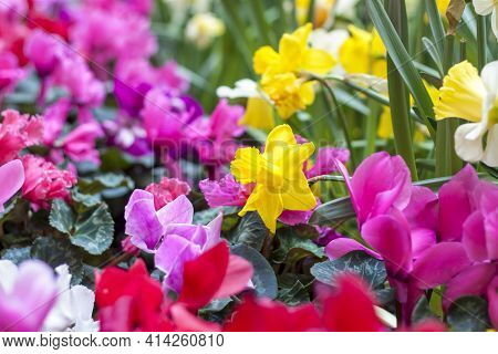 A Flower Bed With Yellow Daffodils Blooming In The Spring Garden. In The Spring, Daffodils Of Variou