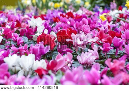 A Floral Carpet Of Red And Pink Cyclamen Persicum Plants In The Spring Garden. In The Spring, Cyclam