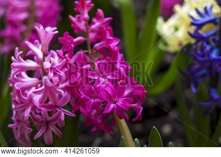 Blooming Spring Hyacinth Flower In A Flower Bed. Colorful Hyacinths, Traditional Easter Flowers, Flo