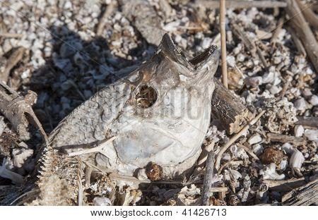 fish head bones