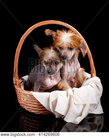 Wo Chinese Crested Dogs Sit In A Wicker Basket.
