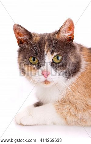 Face Of A Tricolor Cat On A White Background Close Up.