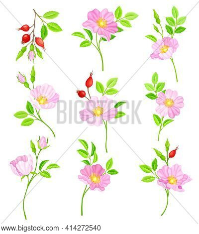 Rosa Canina Or Dog Rose With Pale Pink Flowers And Red Rose Hips Vector Set