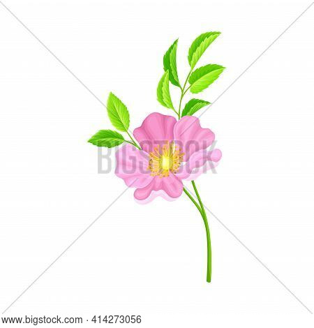 Dog Rose, Rosa Canina Or Rosehip With Pale Pink Flower And Green Pinnate Leaves On Stem Vector Illus