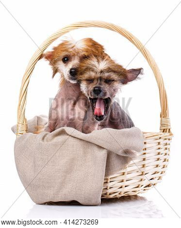 Two Chinese Crested Dogs Sitting In Wicker Basket.