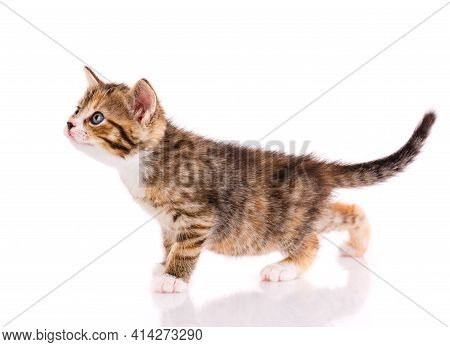 Striped Kitten Stands On A White Background.