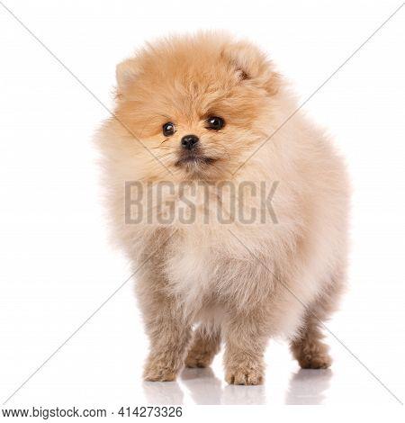 Lovely Pomeranian Puppy In Studio On White Background.