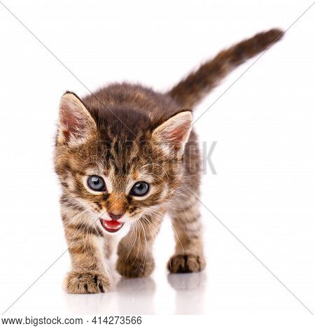 Kitten Meows And Looks At The Camera On A White Background.