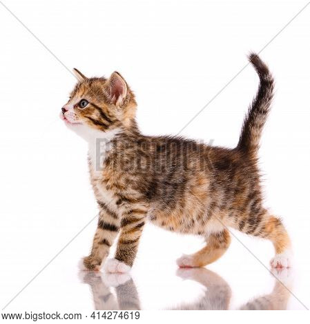 Side View Of A Kitten Looking Straight Ahead. Isolated On White.