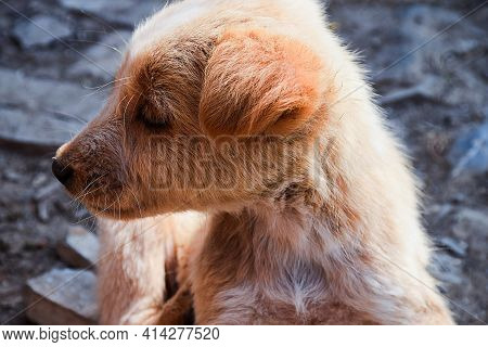 Stock Photo Of A Cute Little Brown Color Canine Breed Puppy Feeling Sleepy In Afternoon On Blur Back