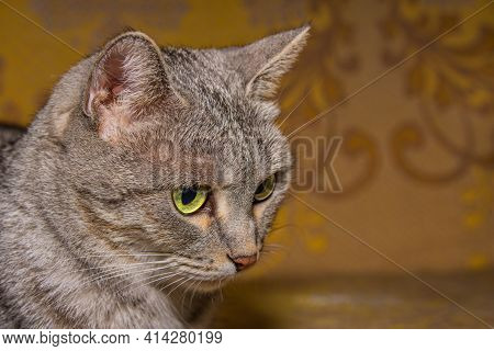 The Face Of A Beautiful Gray Cat With Green Eyes On A Dark Yellow Background. Cat's Head Close-up.