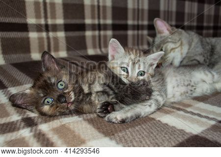 Little Kittens Play On The Couch While Being Licked By Their Mother Cat. Selective Focus, Soft Backg
