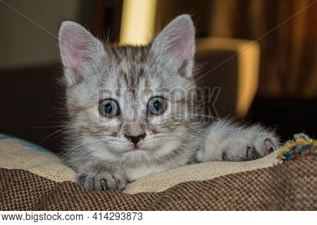 Beautiful Little Grey Kitty Close Up. A Curious Kitten On A Pillow.