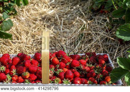 Fresh strawberry inside basket in strawberry fields