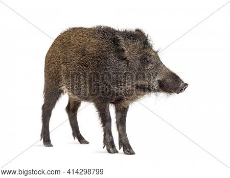 Standing Wild boar, isolated on white