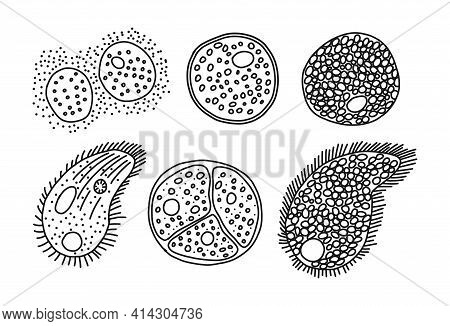 Paramecia Origin Mode, Isolated On White, Vector Illustration. Bacteria Differentiation Different St